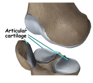 cartillages of knee
