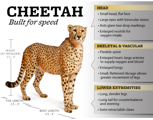 Cheetah so fast