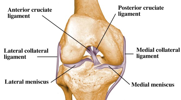 Anatomy Of The Knee A Simple Understanding Osteopathy Singapore