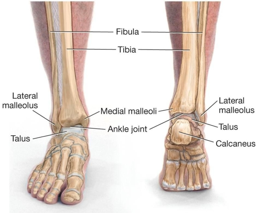 ankle joint only