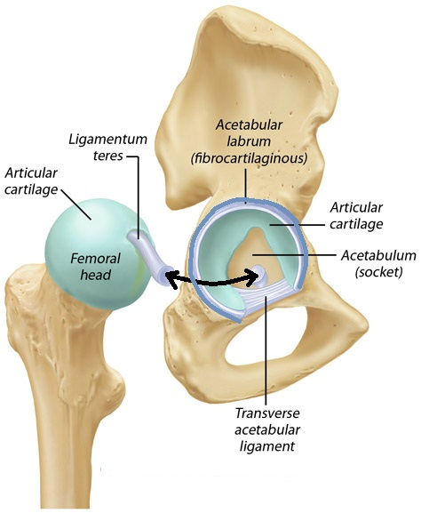 cartilage and labrum