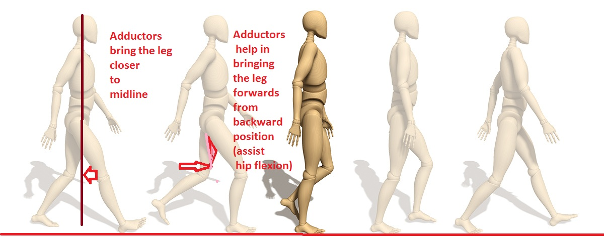 hip adductor muscles