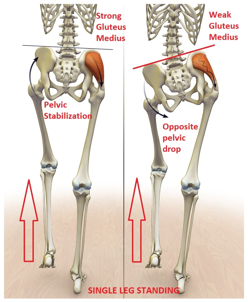 Anatomy osteopathy singapore as you can see in fig 16 weakness of the right gluteus medius will cause the left hip to drop when standing on the right leg thus during walking the pooptronica Image collections