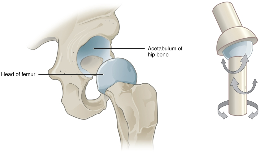 HIP JOINT 1