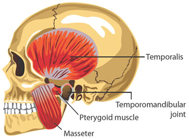 muscles of tmj