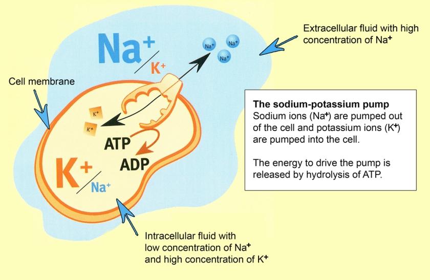 Sodium K pump