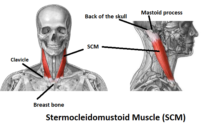 sternocleidomastoid FRONT VIEW