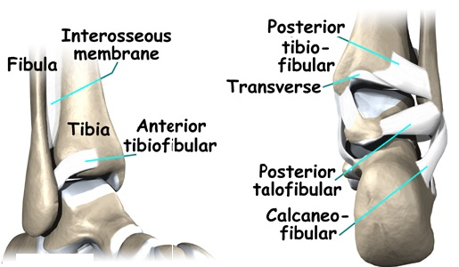 Ankle – Osteopathy Singapore