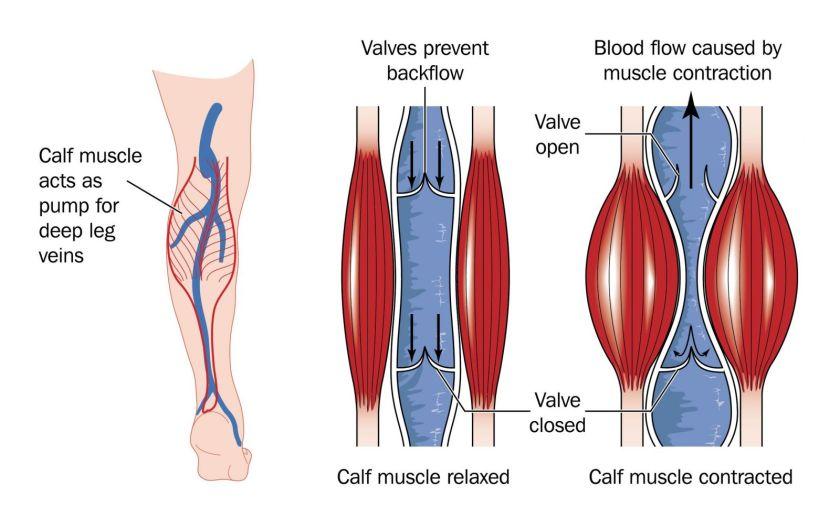 Deep Leg Veins