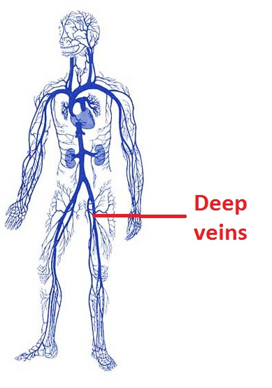 veins of our body